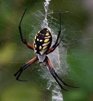 Golden Orb Weaver Spider Silk