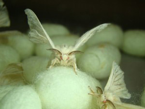 Transgenic Spider Silk Monster Silk Moths